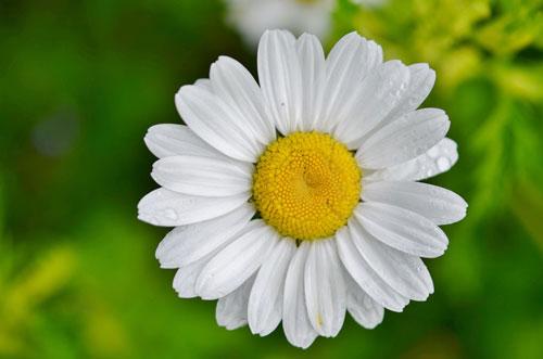 daisy-821222_1920